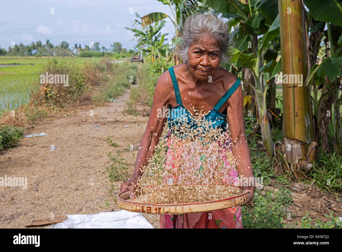 Elderly Indonesian woman sifting / winnowing rice seeds after harvesting at rice field on the island Lombok, Indonesia - Stock Image