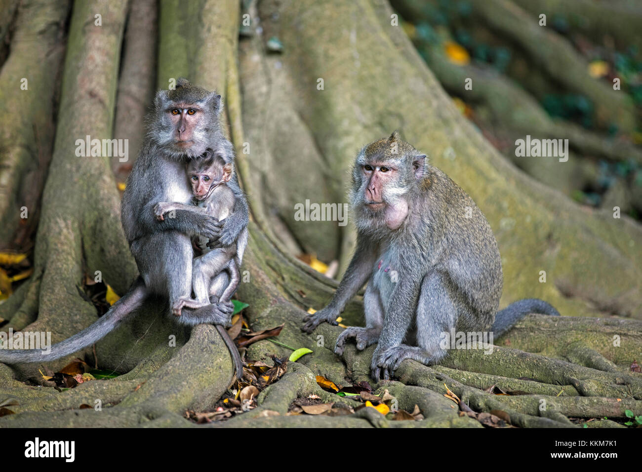 Family of crab-eating macaques / Balinese long-tailed macaque (Macaca fascicularis) with juvenile on the island - Stock Image