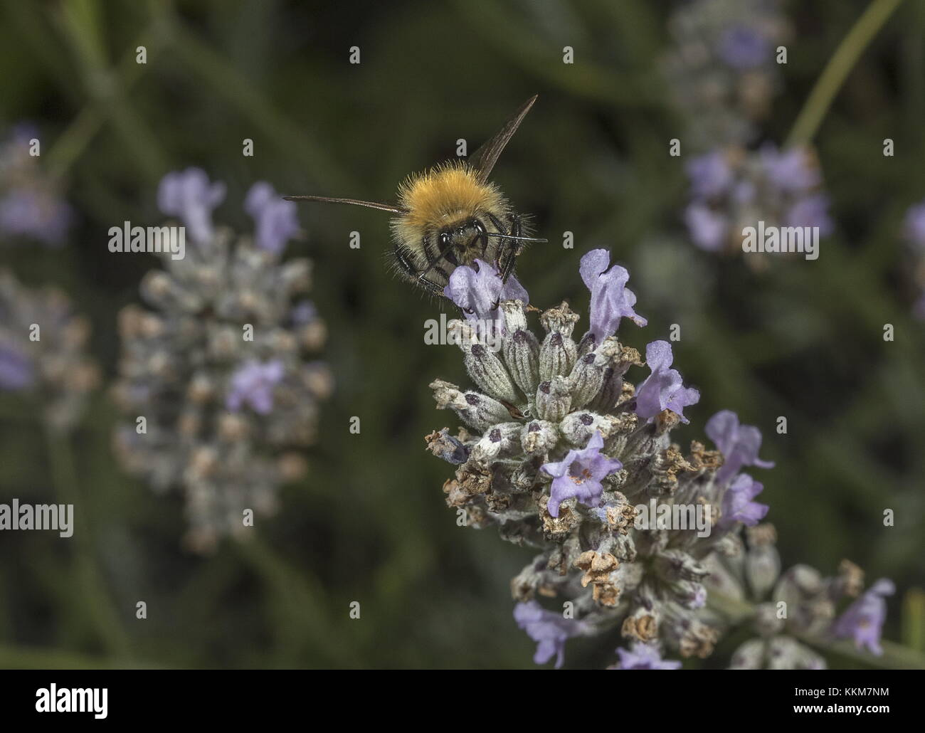 Worker Common Carder Bumblebee, Bombus pascuorum visiting Lavender flowers. - Stock Image