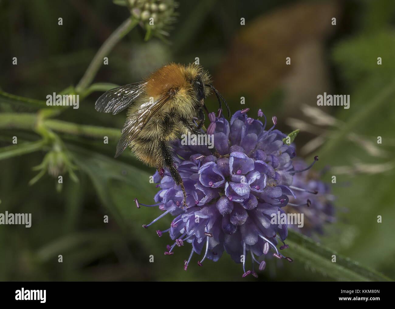 Common Carder Bee, Bombus pascuorum visiting Devil's bit scabious flowers. - Stock Image