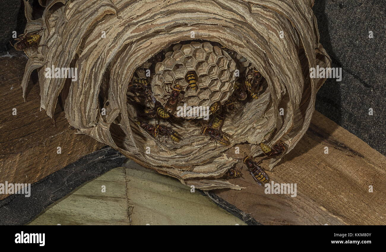 Nest of European hornet, Vespa crabro, in shed, with active workers. - Stock Image