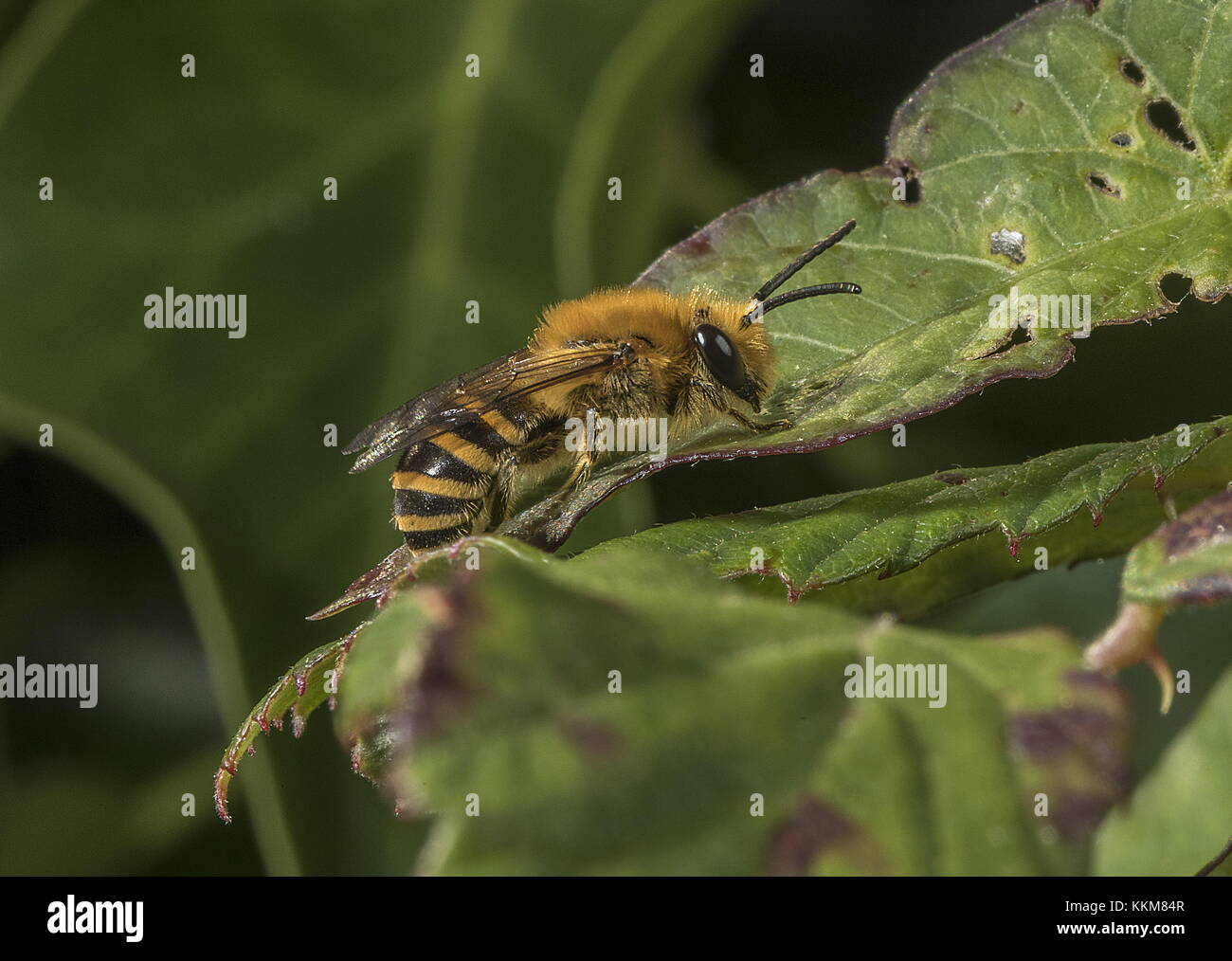Ivy bee, Colletes hederae, female resting on bramble leaf in hedgerow, Dorset. - Stock Image