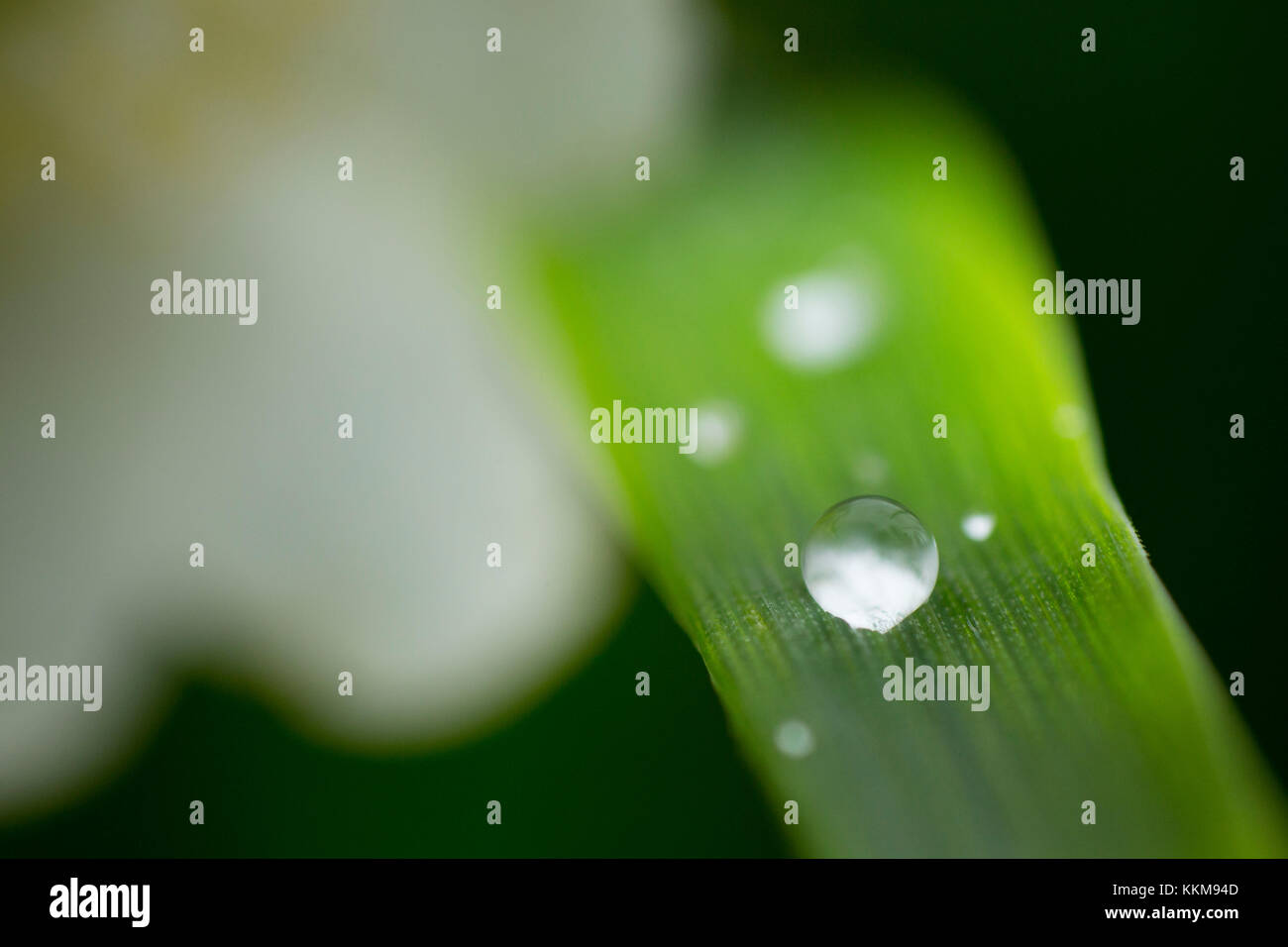 Blade of grass with dewdrop, close-up - Stock Image