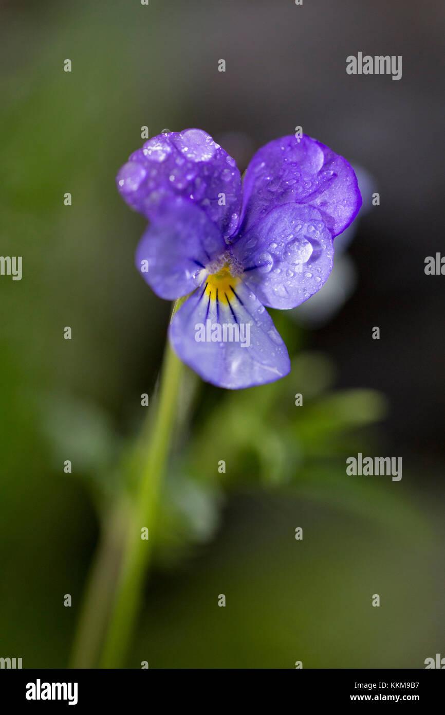 Pansies, close-up, viola - Stock Image