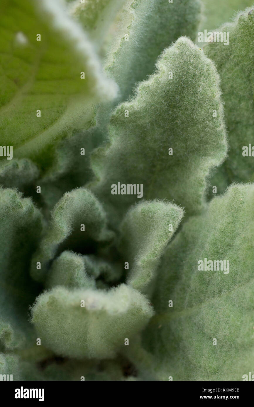 Plant, hairy leaves, close-up - Stock Image