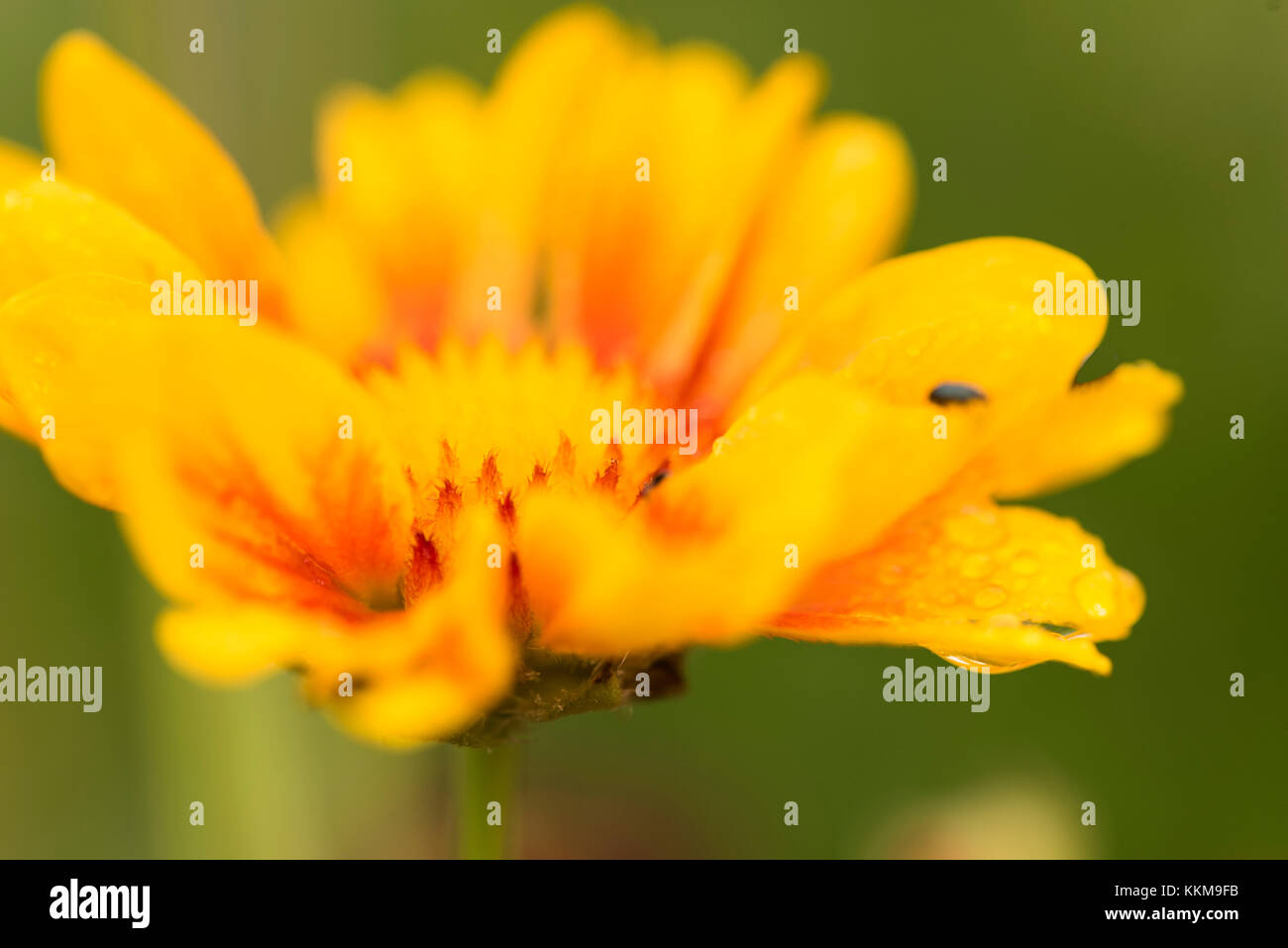 Flower Gaillardia 'Burgundian', blossom, close-up Stock Photo