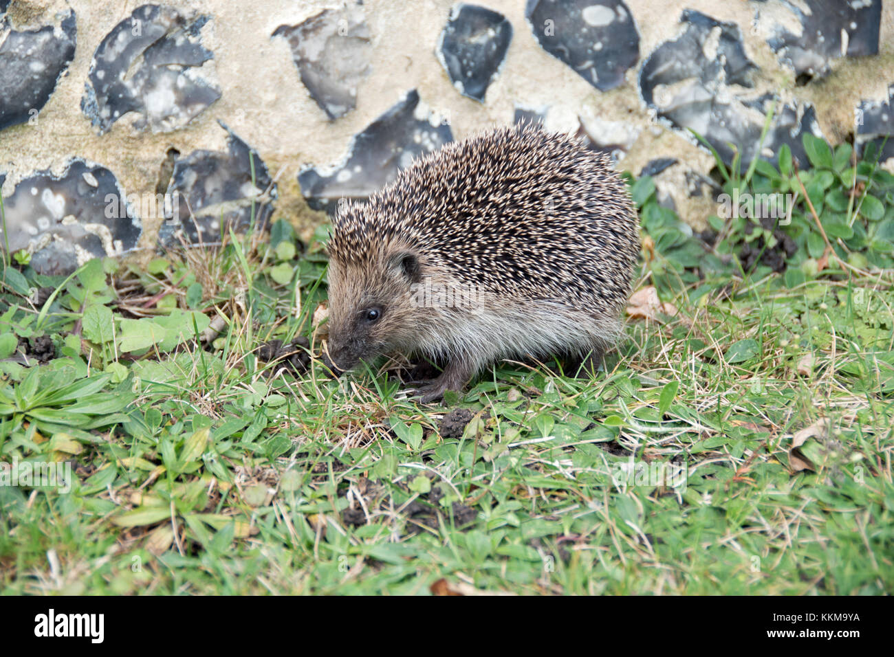 A hedgehog foraging in a churchyard - Stock Image