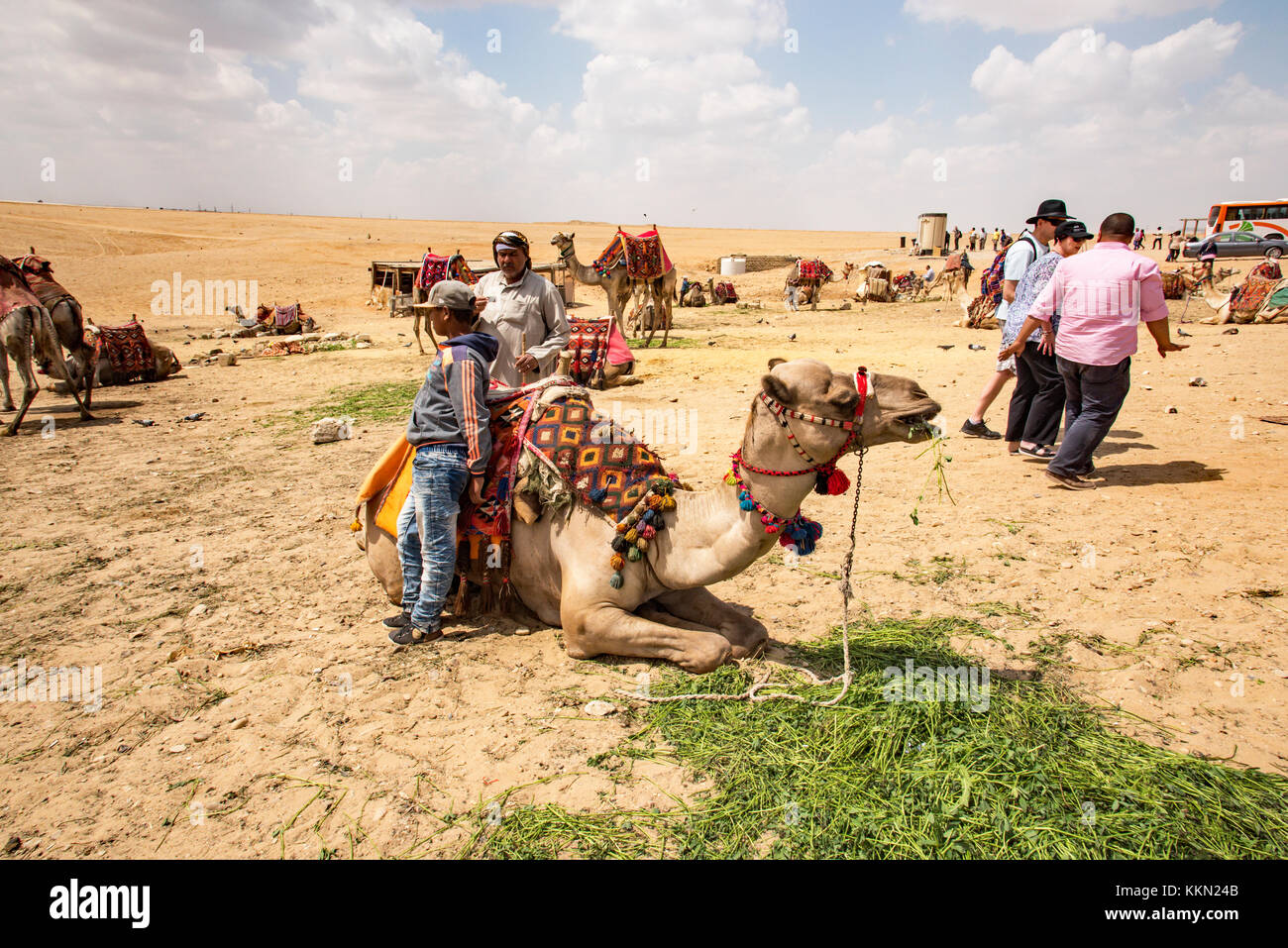 Camels for tours of the Pyramids from the desert on the Giza Plateau. - Stock Image