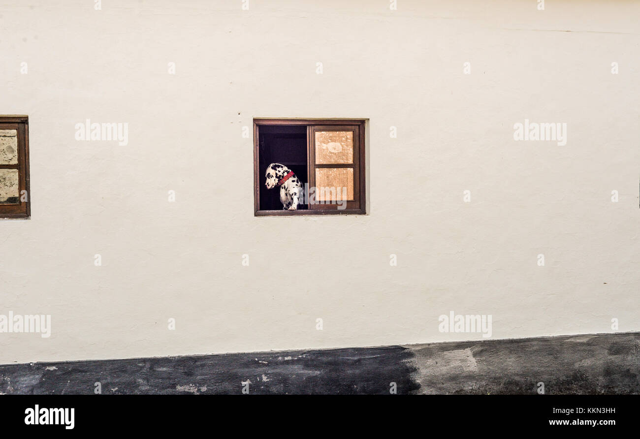 A dalmation dog waiting by the window - Stock Image