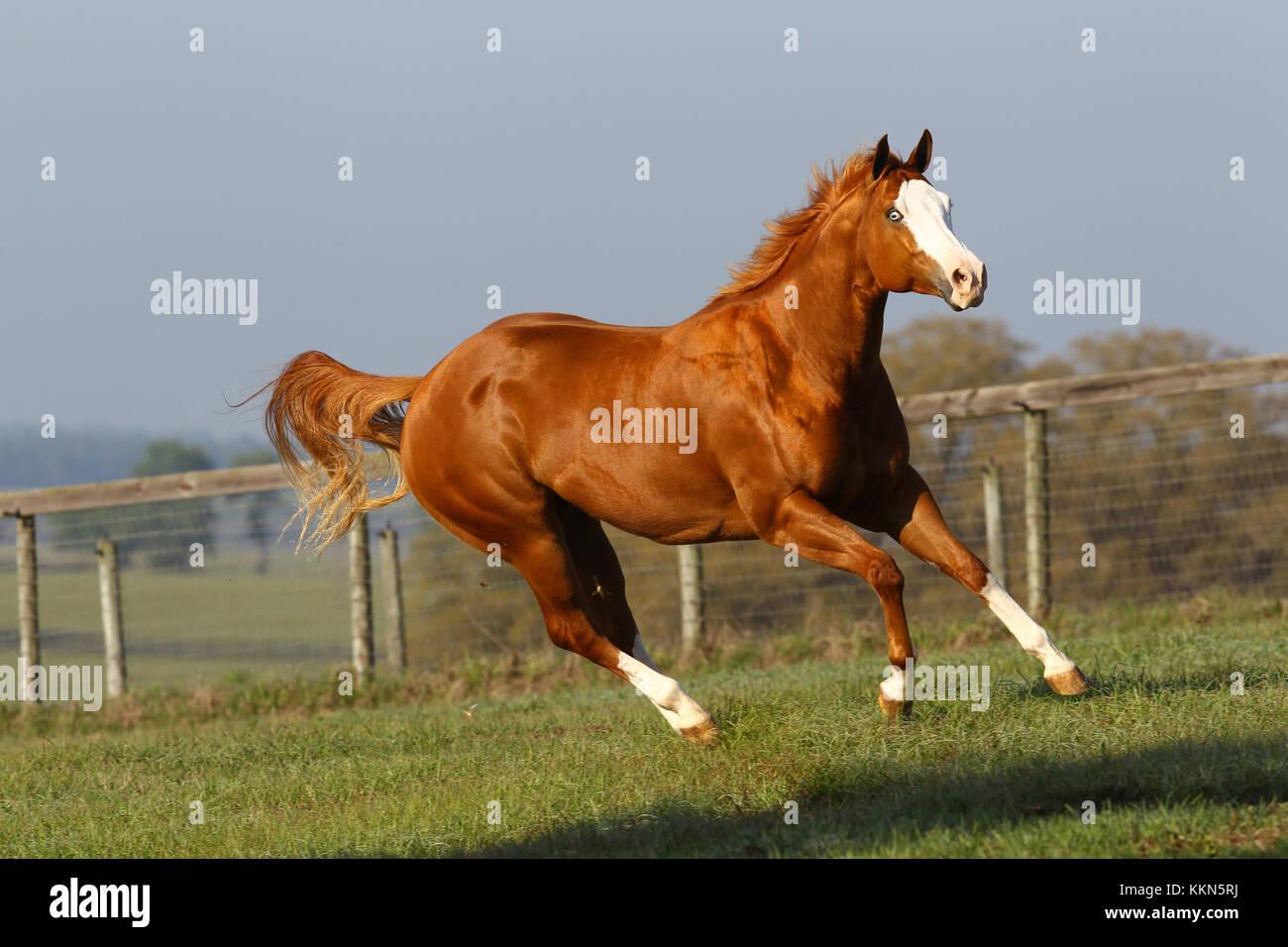 overo paint horse mare stock photo 167037350 alamy
