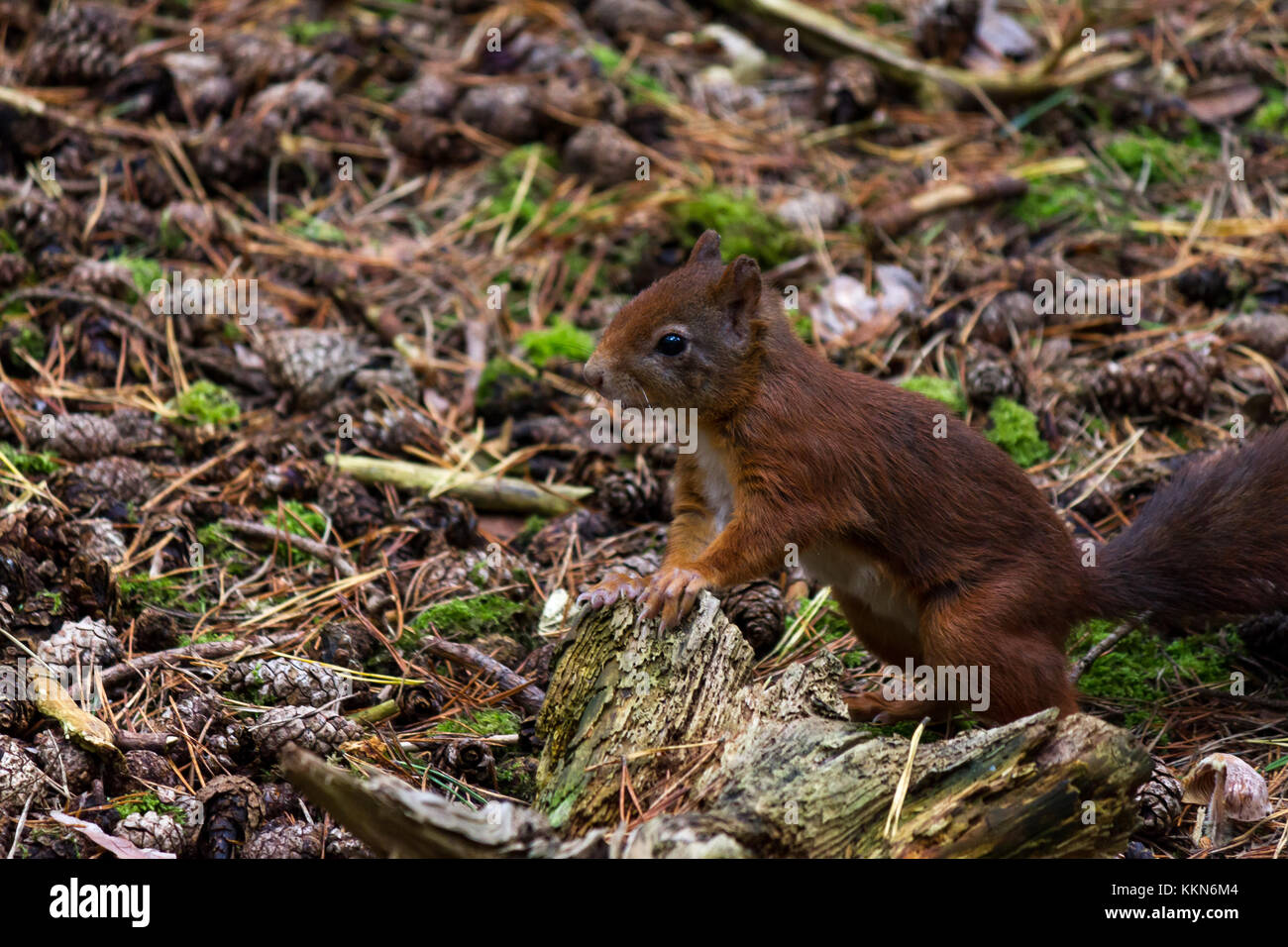 A Red Squirrel at the Red Squirrel Reserve, Formby, Merseyside, UK - Stock Image