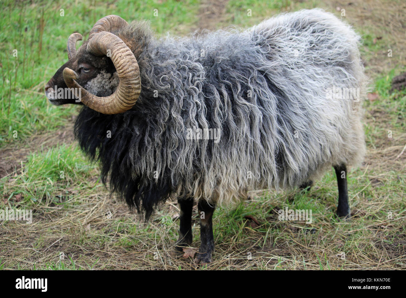 Rare breed sheep in profile with a dark brown head, white nose, black legs, curled horns and a grey woolly grey - Stock Image