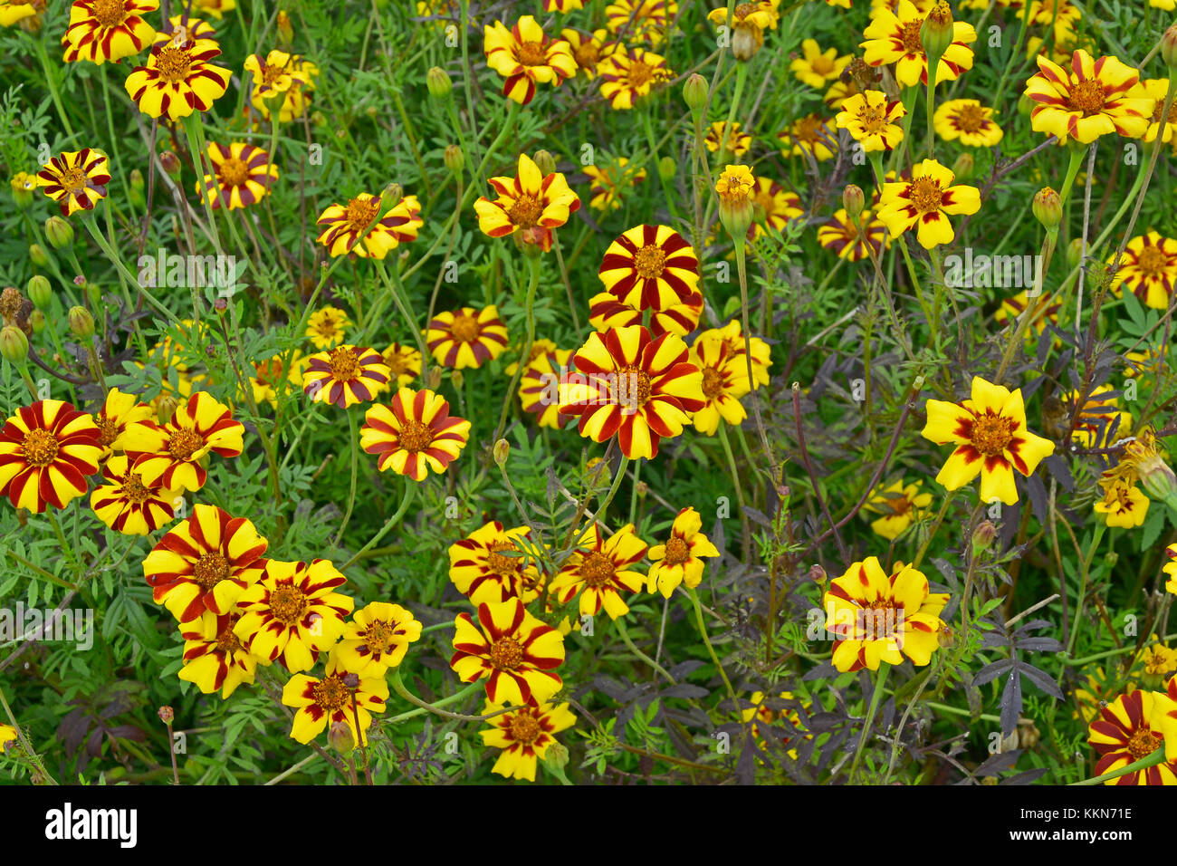 Close up of flowering Tagetes patula 'Jolly Jester' in a country garden - Stock Image