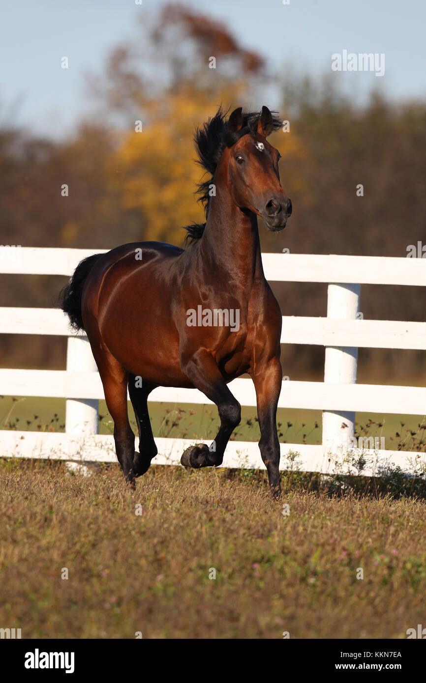 Lipizzaner Stallion - Stock Image