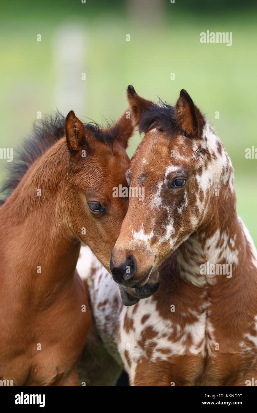 Appaloosa Foals - Stock Image