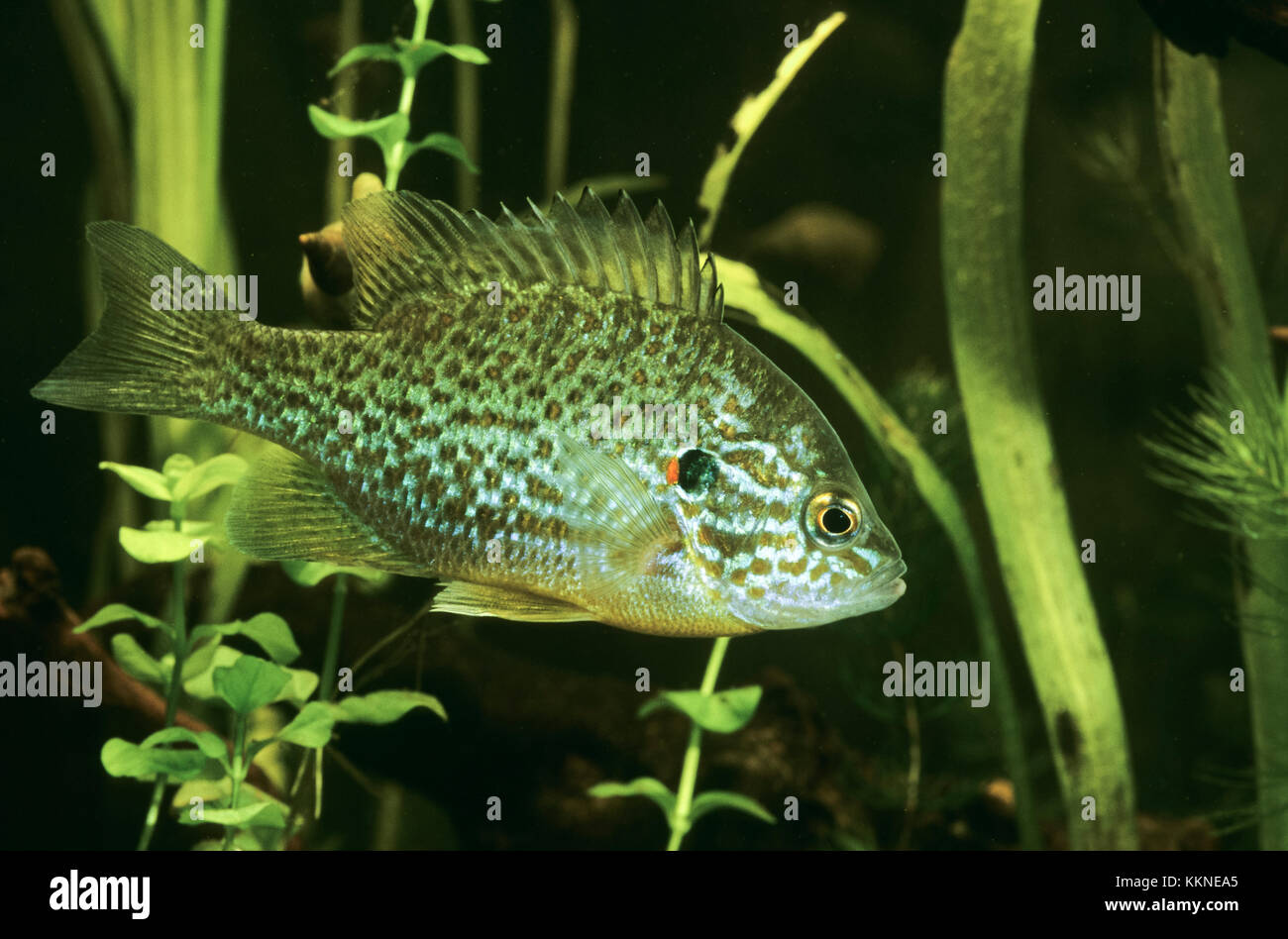 Sonnenbarsch, Sonnen-Barsch, Kürbiskernbarsch, Lepomis gibbosus, pumpkinseed sunfish, pumpkinseed-sunfish Stock Photo
