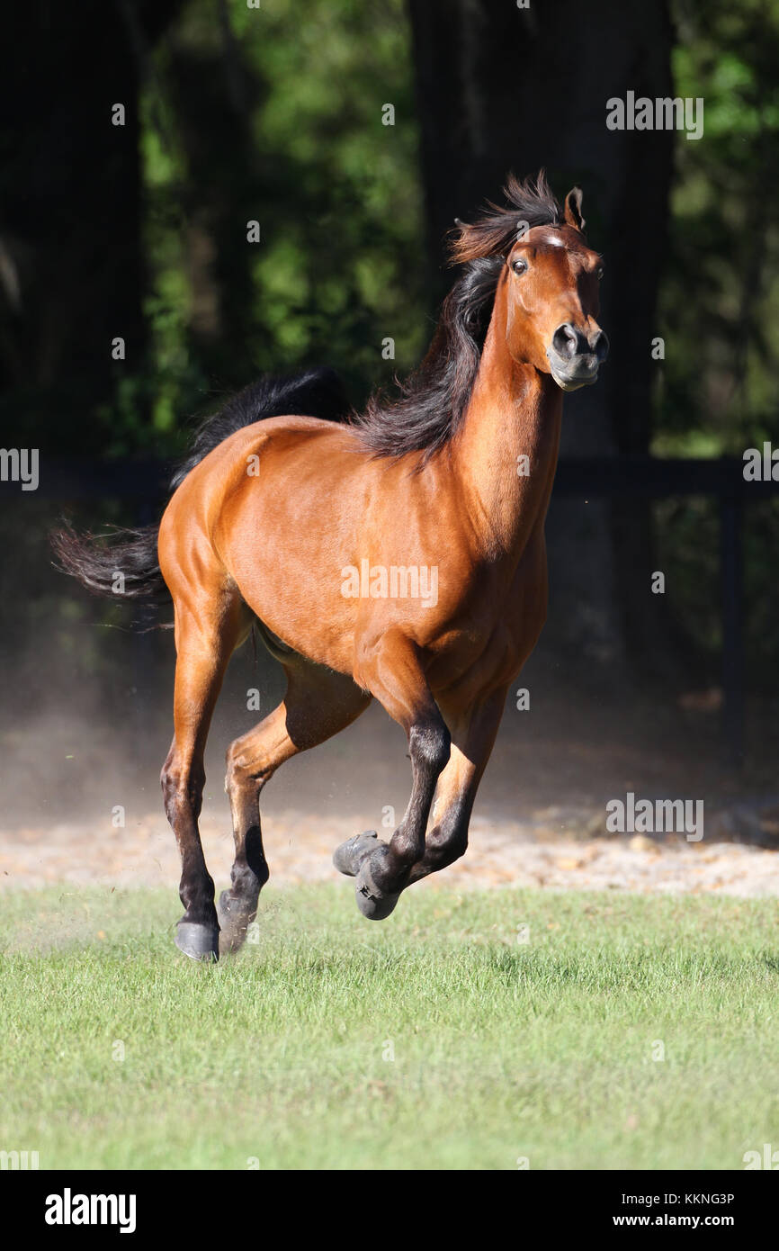 Tennessee Walker Stock Photo