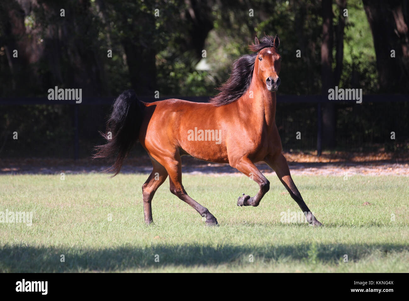 Tennessee Walker - Stock Image