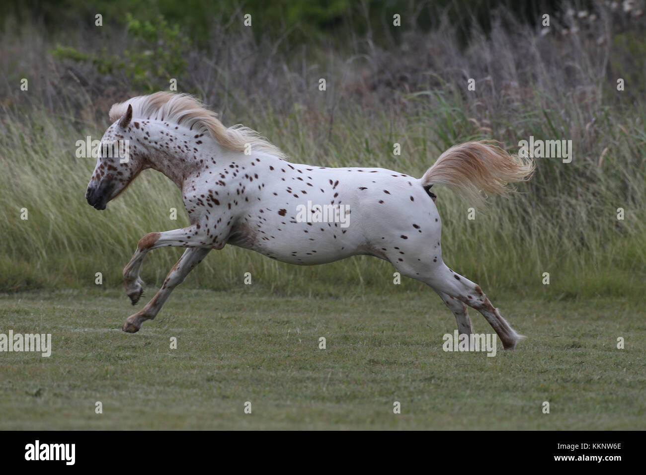Pony Of America Filly leaping - Stock Image