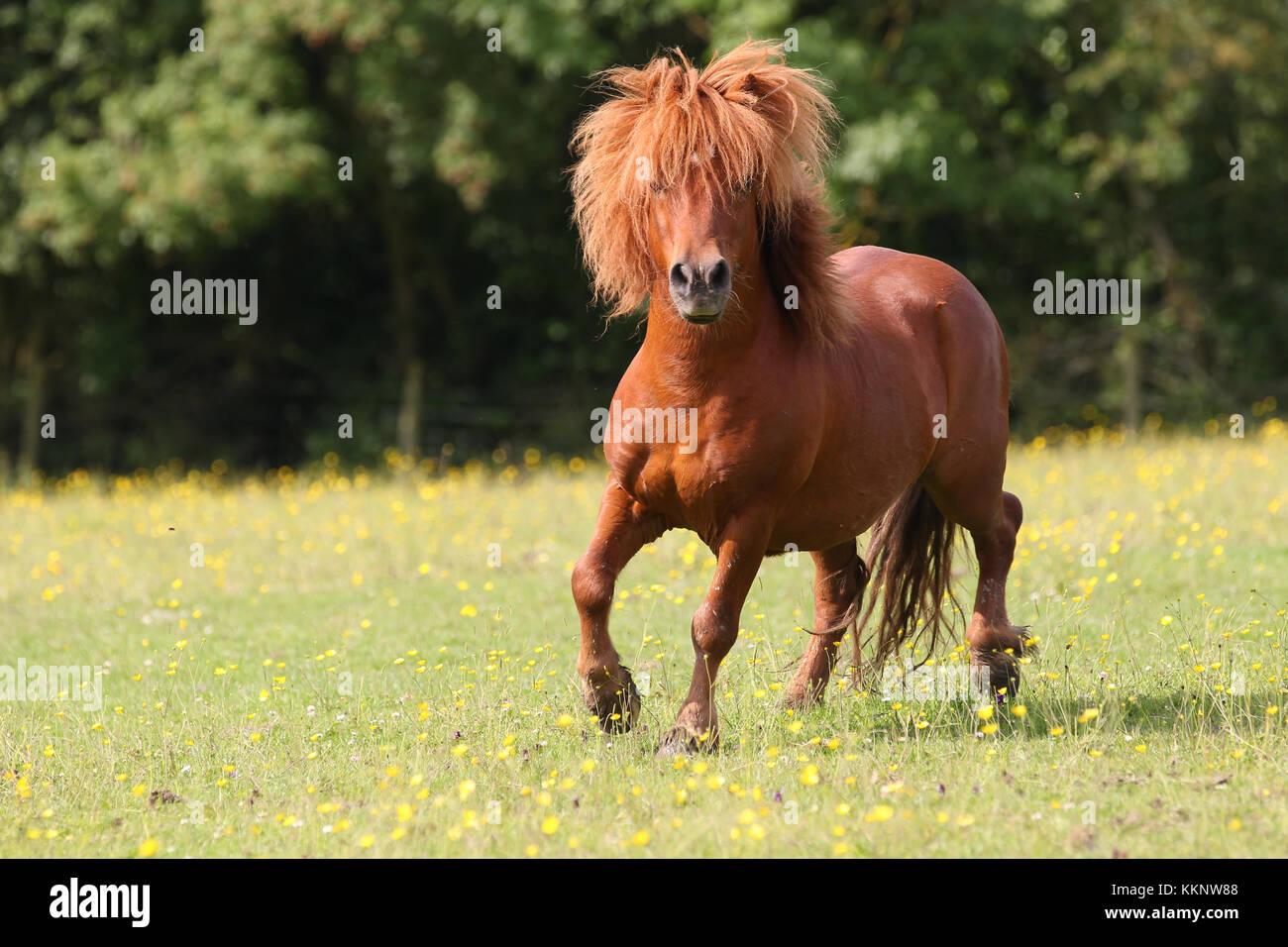 Shetland Stallion - Stock Image