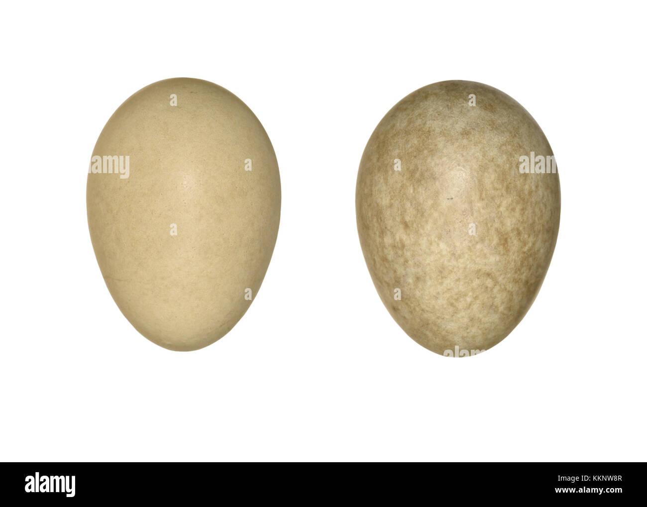 Blue-headed Wagtail - Motacilla flava flava - Stock Image