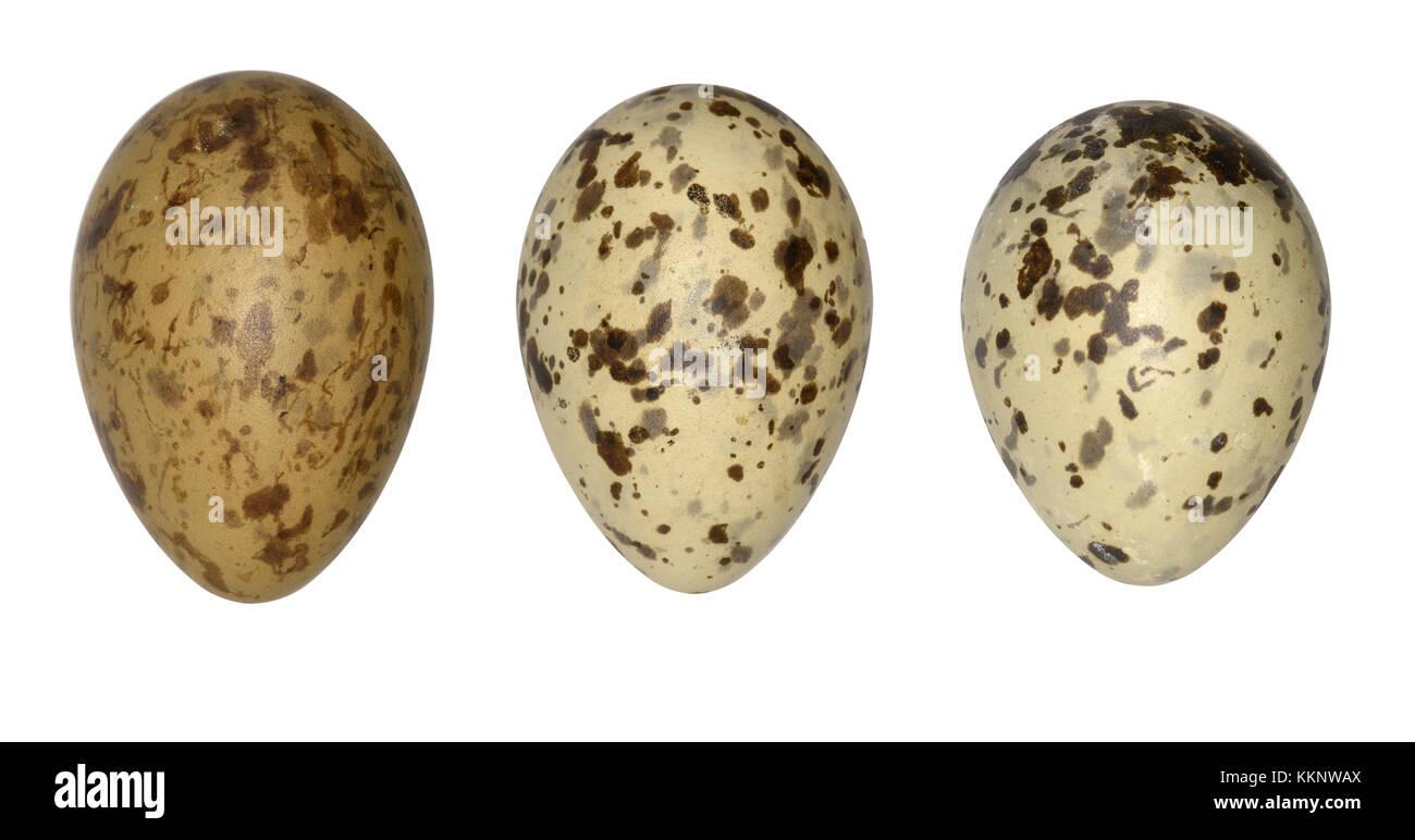 Black-headed Gull - Larus ridibundus - Stock Image