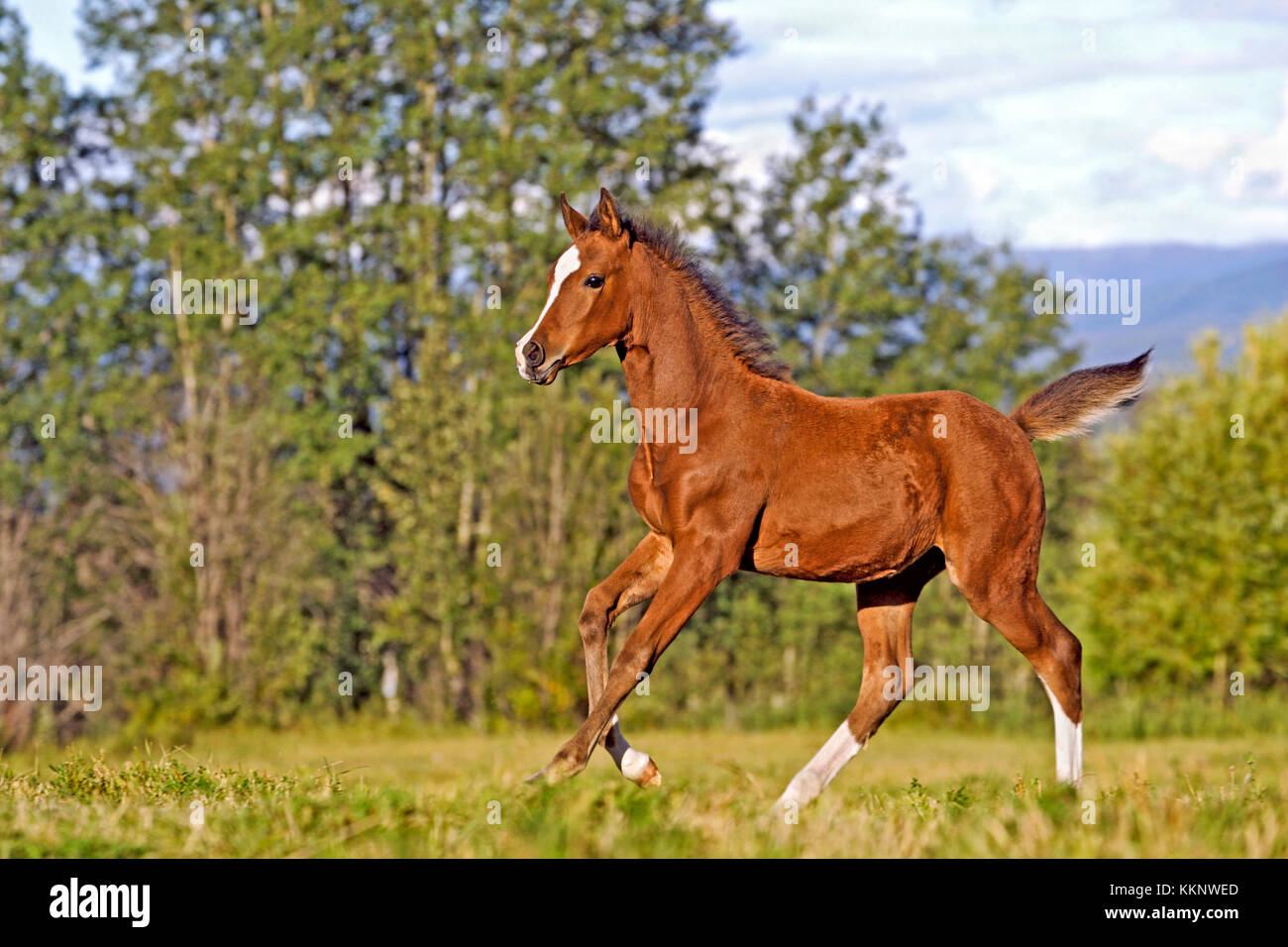 Playful Bay Arabian Foal running at spring pasture - Stock Image