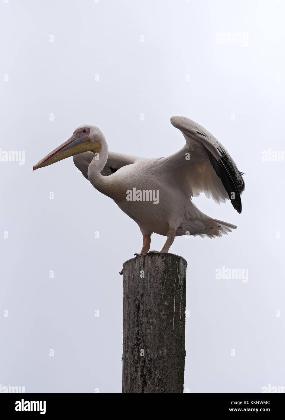 Great White Pelican on a post in Walvis Bay, Namibia - Stock Image