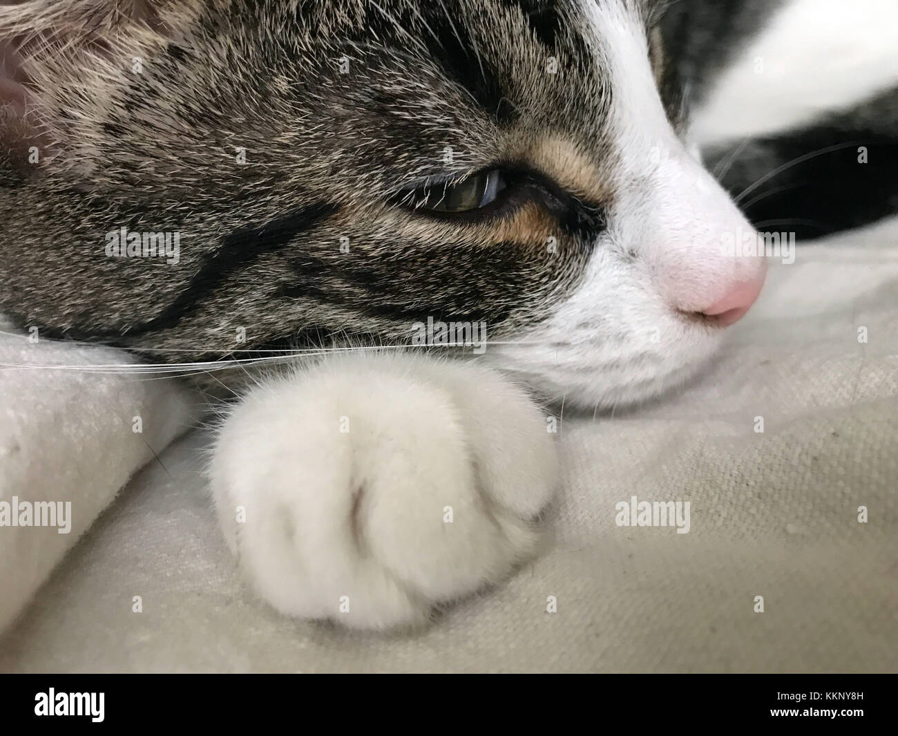 Gray and white kitten snoozing. - Stock Image