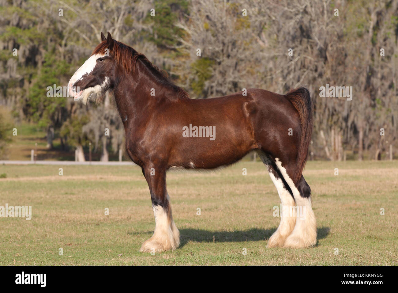 Clydesdale Horse High Resolution Stock Photography And Images Alamy