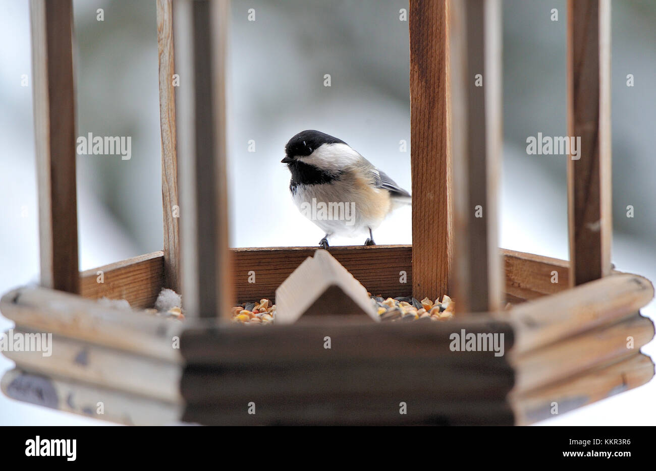 A Black-capped Chickadee bird perched on the edge of a bird feeder checking out the seeds in the feeder. - Stock Image