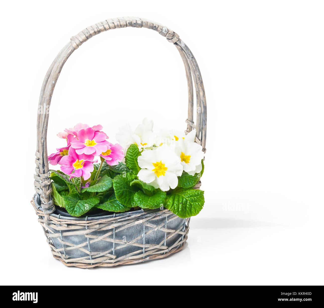 Flower box with primroses and ribbon - Stock Image