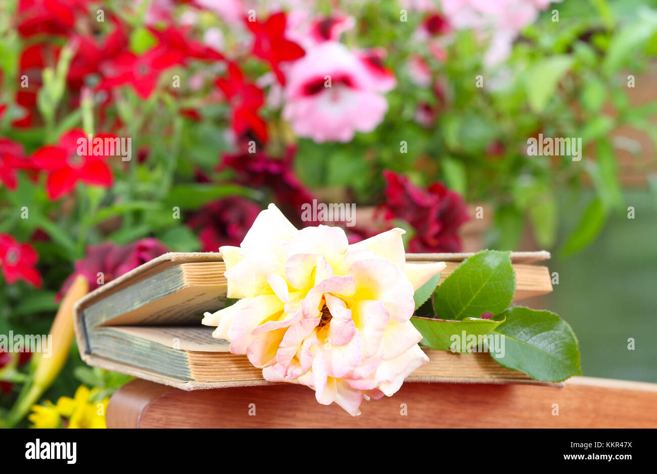 Love story, love greeting, rose in the book - Stock Image