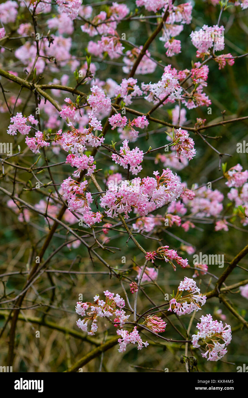 Pink blooming shrub with a abundance of flowers of the arrowwood pink blooming shrub with a abundance of flowers of the arrowwood dawn in early spring viburnum x bodnantense knoops park bremen germany mightylinksfo