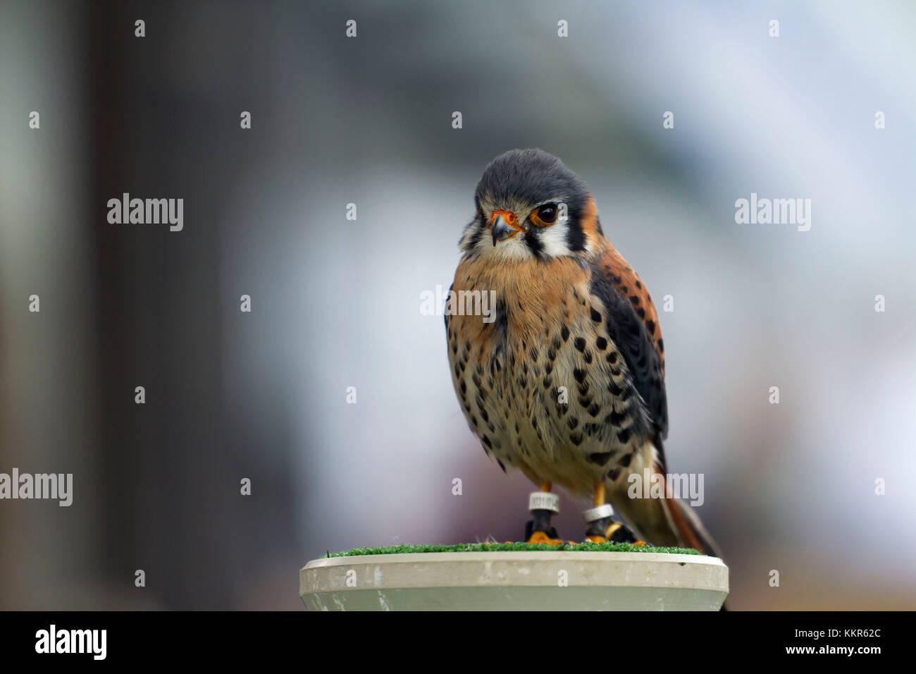 sparrow hawks, Falco sparverius, Bavaria, Germany - Stock Image