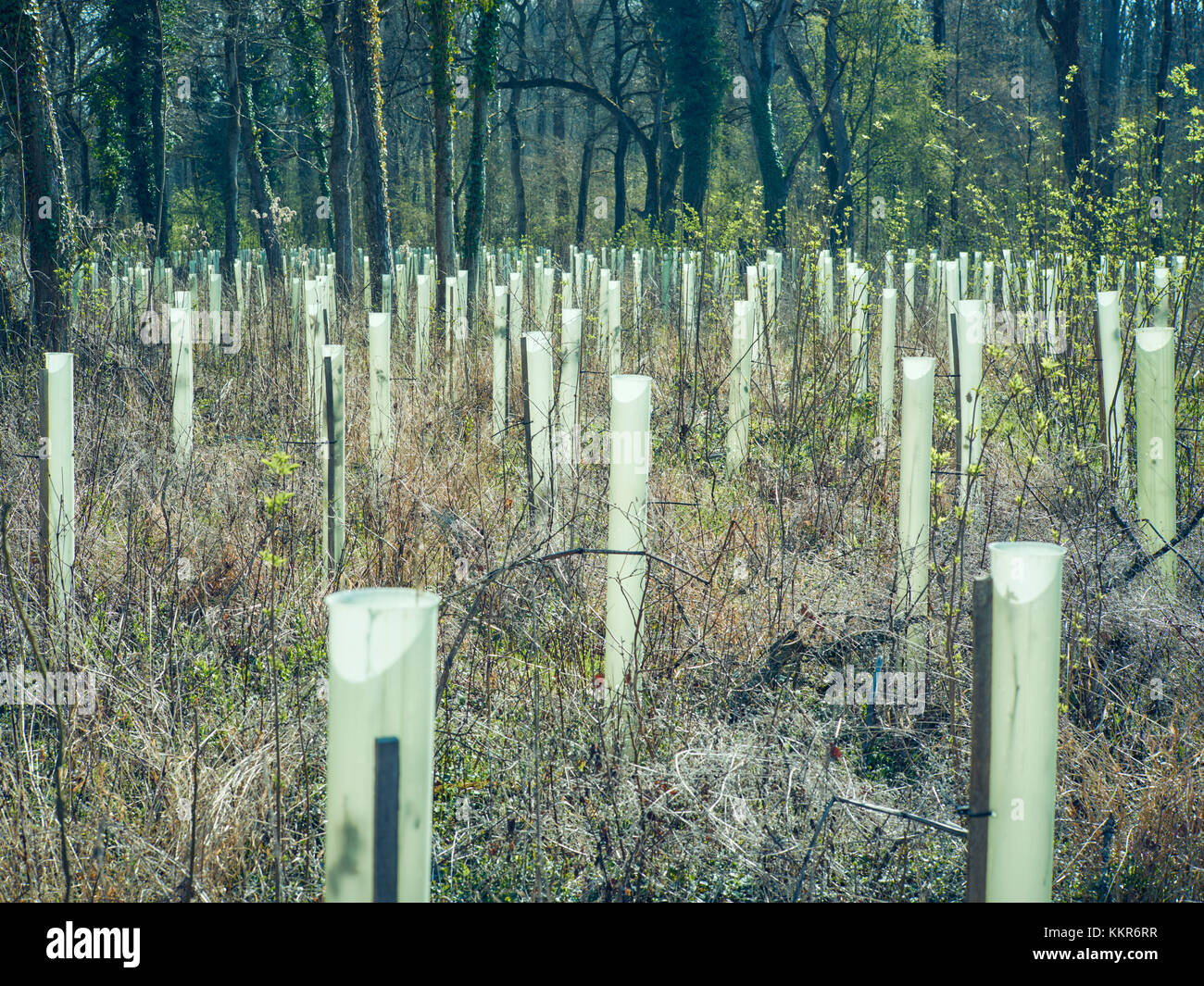 Many tree shelters for young trees, in a forest, with sun - Stock Image