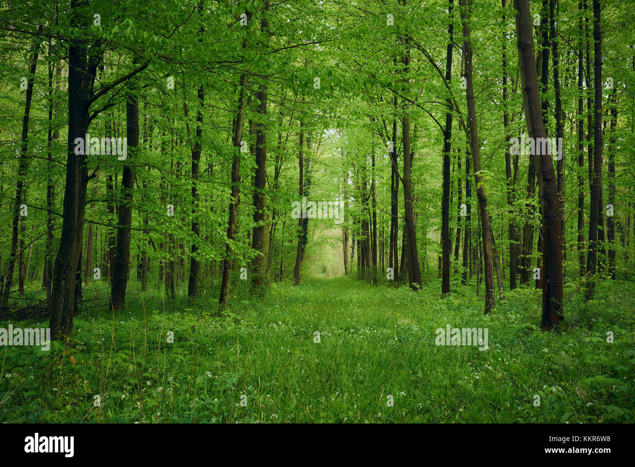 Forest in spring with wild garlic and invisible path leading to a clearing - Stock Image