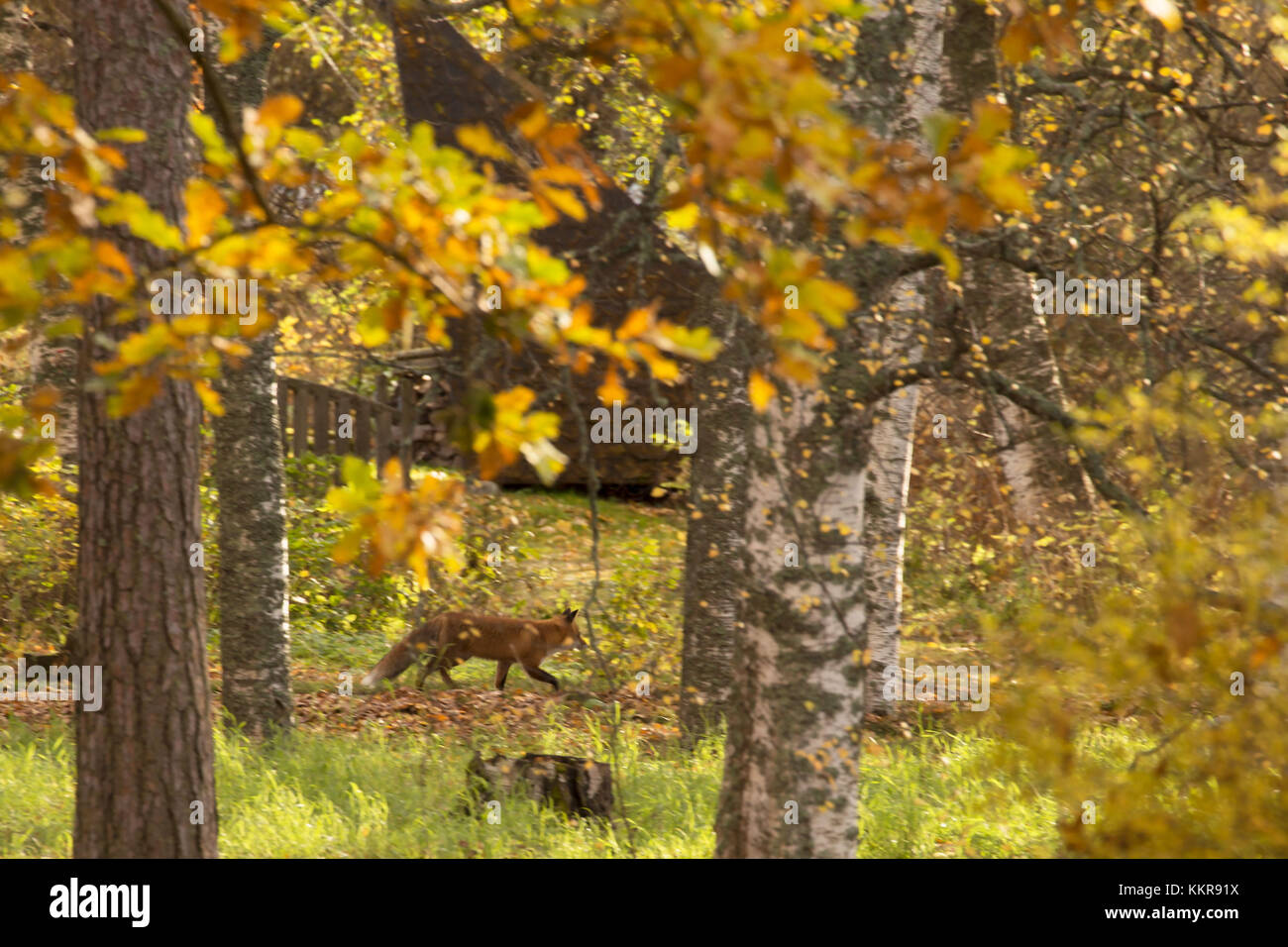 Red Fox, vulpes vulpes, Adult walking in autumnal garden, Finland Stock Photo