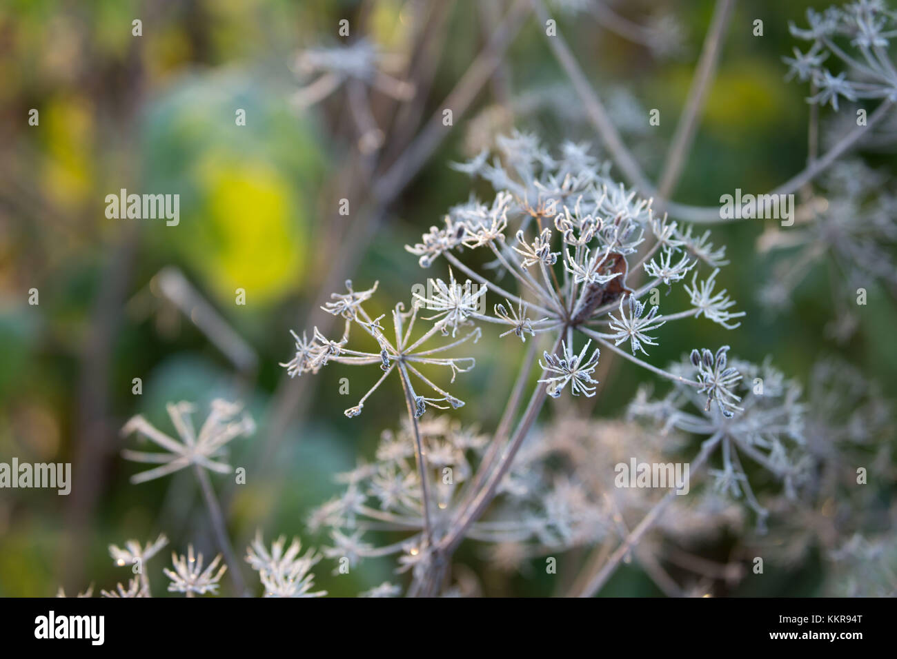 Closeup of frozen plant, blurred background - Stock Image