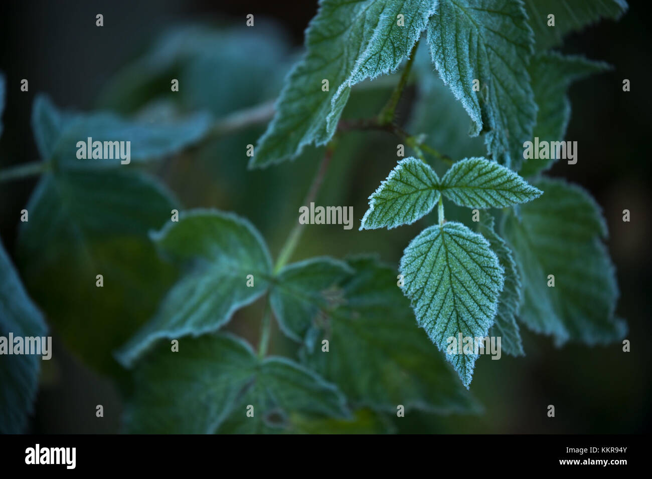 Closeup of frozen green leaves, blurred background - Stock Image