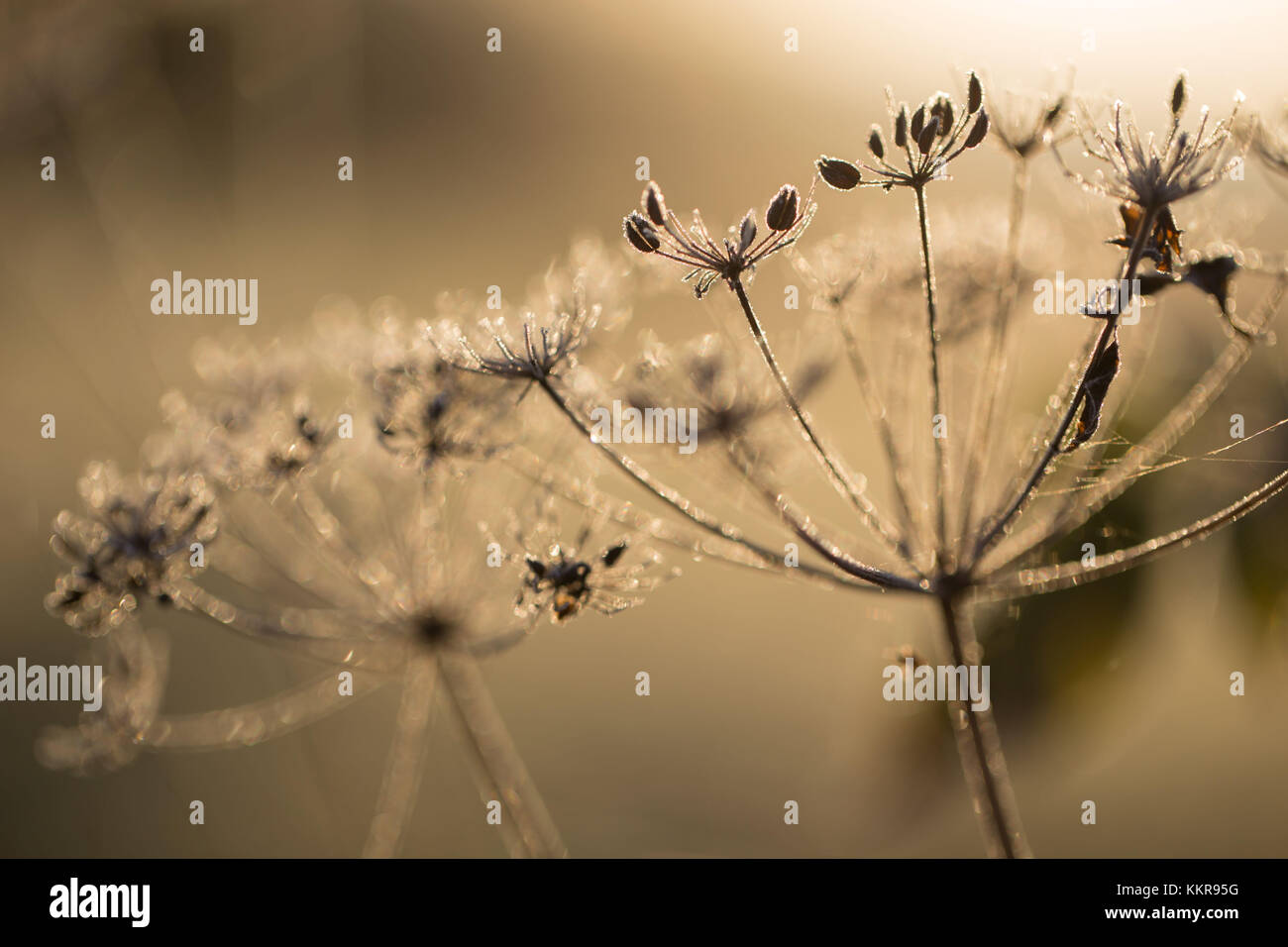 Closeup of hoarfrost crystalline on dry plant, blurred background - Stock Image