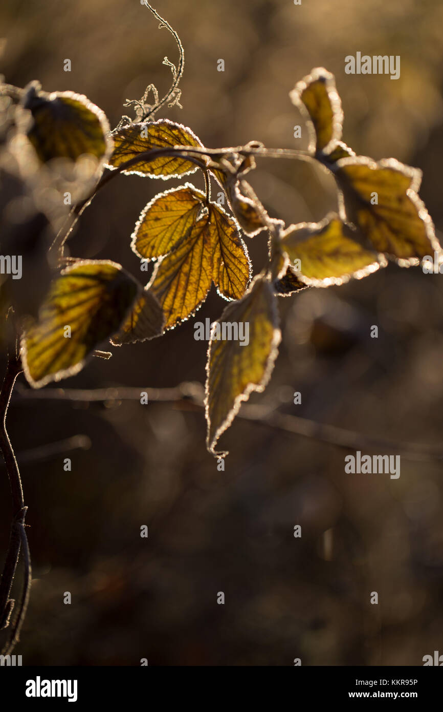 Hoarfrost crystalline on leaves in a sunlight, blurred background - Stock Image