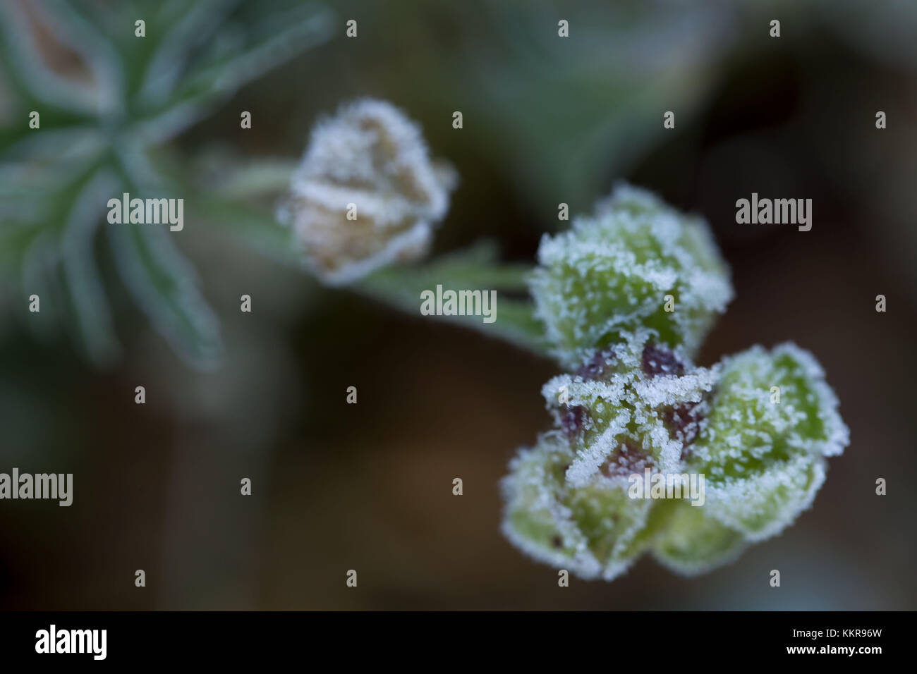 Hoarfrost crystals on dried flower seed pods, blur background - Stock Image