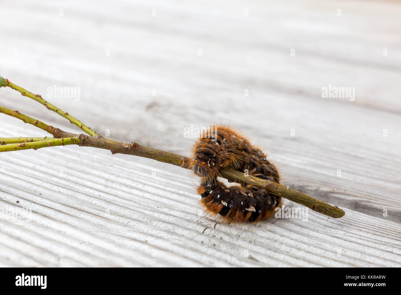 caterpillar on a twig - Stock Image