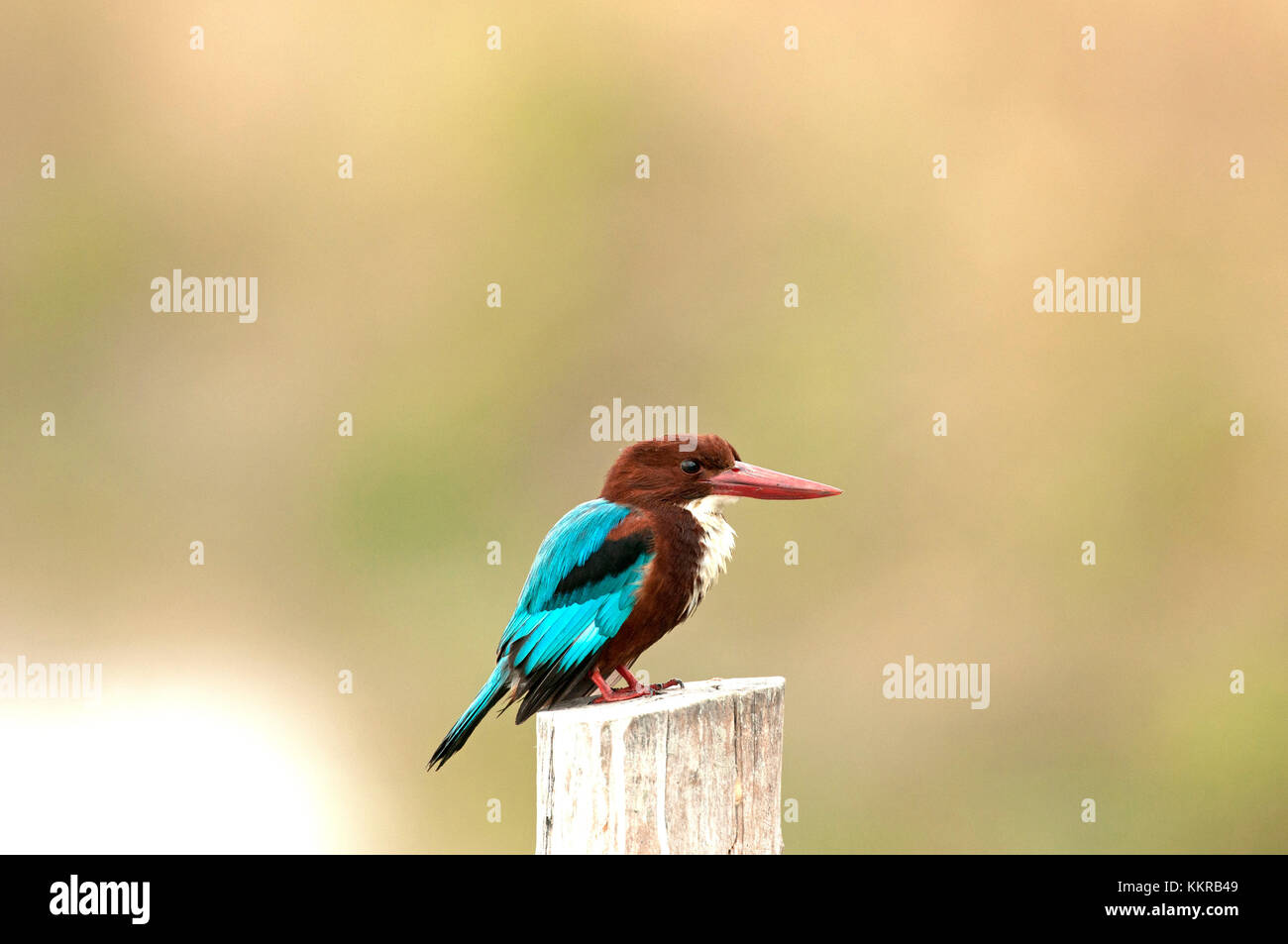 White-throated kingfisher (Halcyon smyrnensis), Thailand - Stock Image
