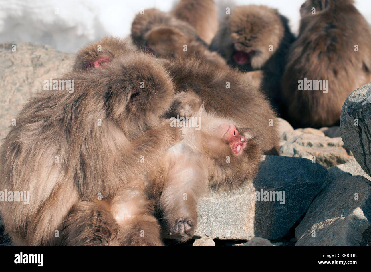 Japanese macaque or snow japanese monkey (Macaca fuscata),Japan Stock Photo