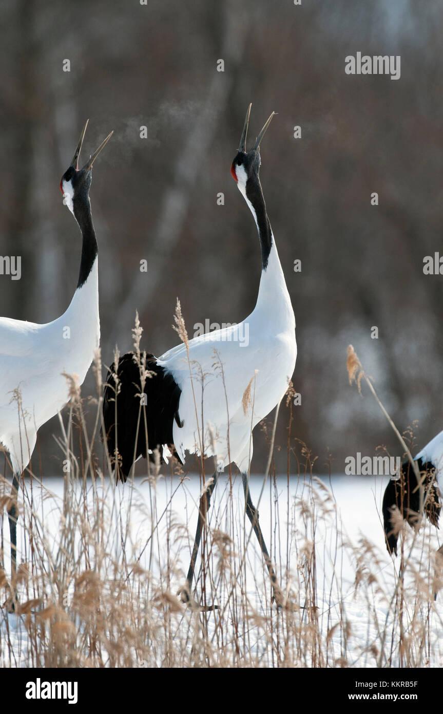 Japanese crane, Red-crowned crane, couple singing in love season (Grus japonensis), Japan Stock Photo