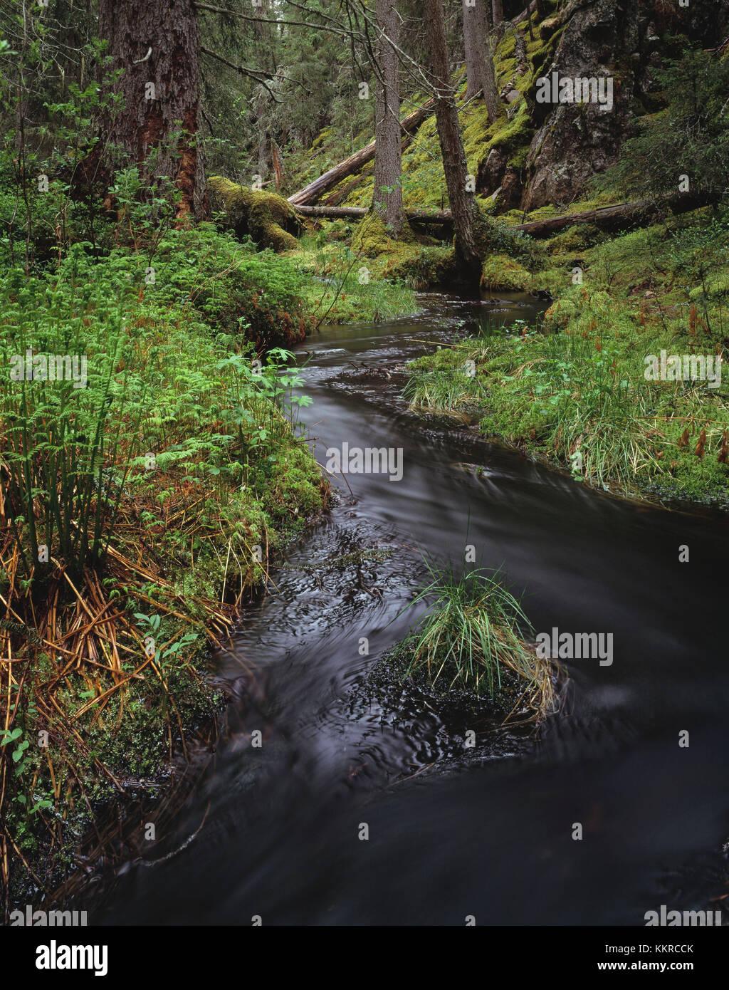 Sweden, Dalarna, Västra trollegrav, brook in primeval forest - Stock Image