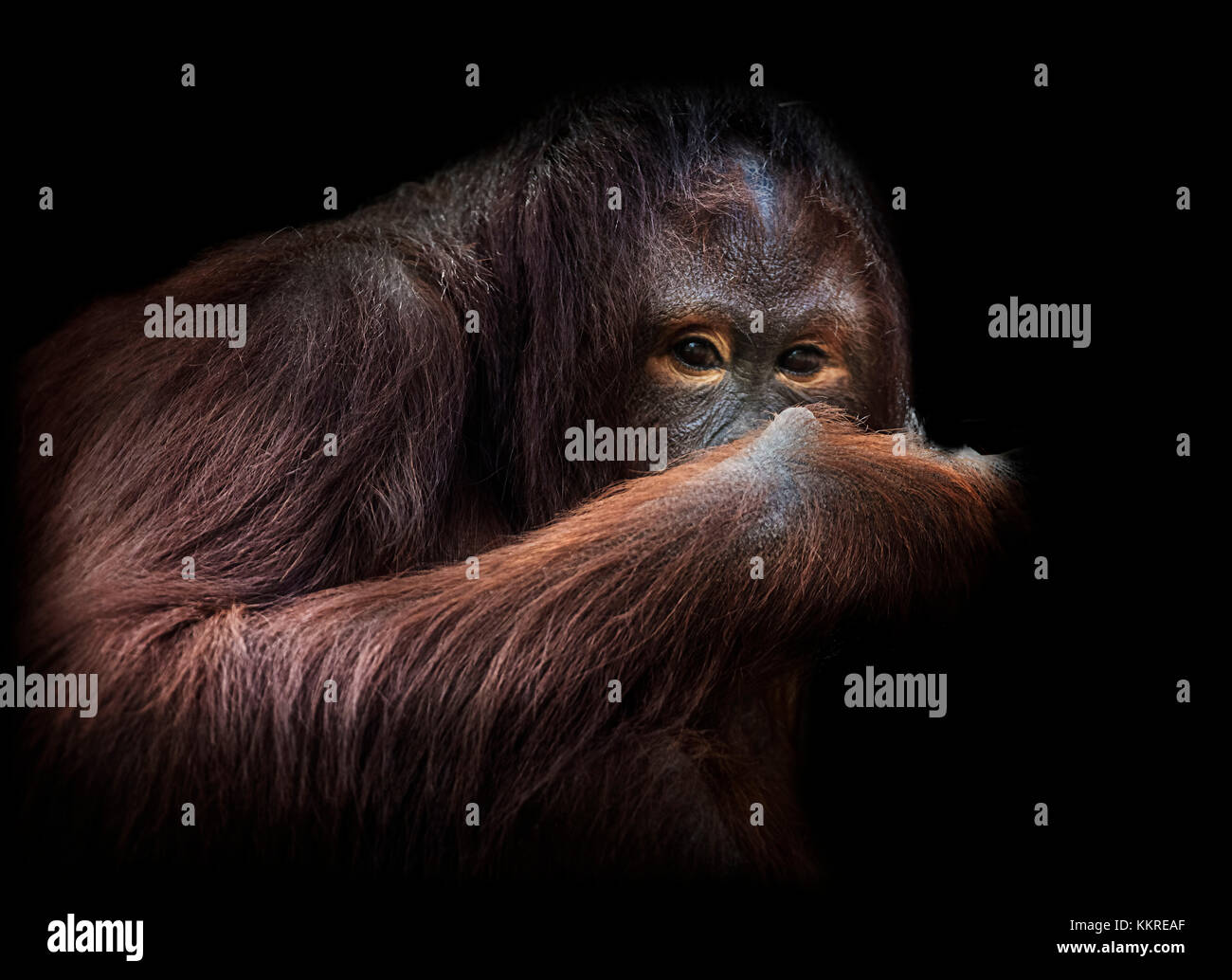 Orangutan on black, portrait - Stock Image