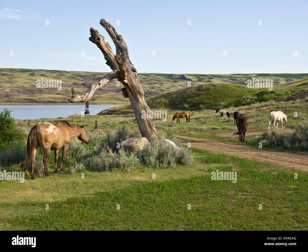 horses released after being ridden - Stock Image